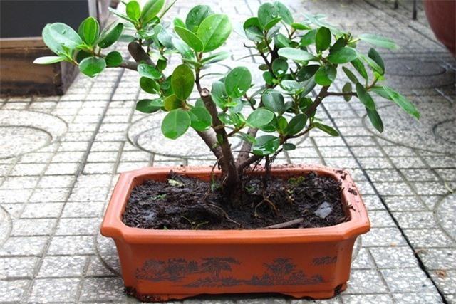 Sam núi bonsai cây cực quý hiếm lại còn là cây thuốc ở miền Trung