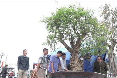 Cận cảnh cây thạch lựu 300 năm vô địch Việt Nam giá tiền tỷ
