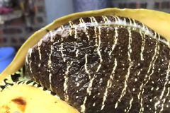 Kỳ lạ Quảng Ninh: Con ốc khổng lồ, 6 người ăn không hết