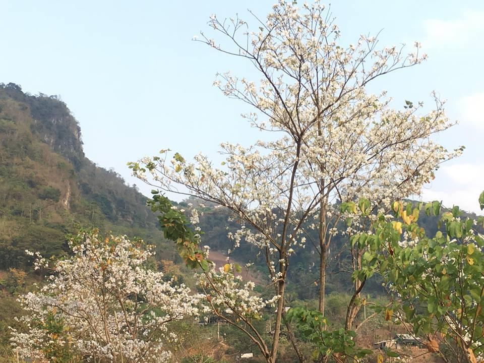 Hoa ban bừng nở, khoe sắc trắng tinh khôi trên các cung đường Tây Bắc