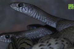 Hầm rắn hổ trâu lúc nhúc, phì phì đáng sợ giữa Hà Nội