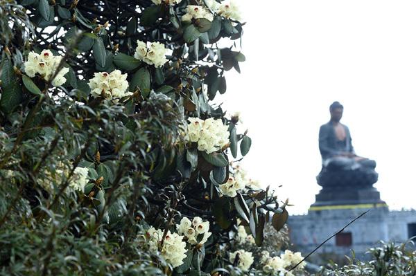 Đỗ quyên nở sớm ở Fansipan, lễ hội tưng bừng