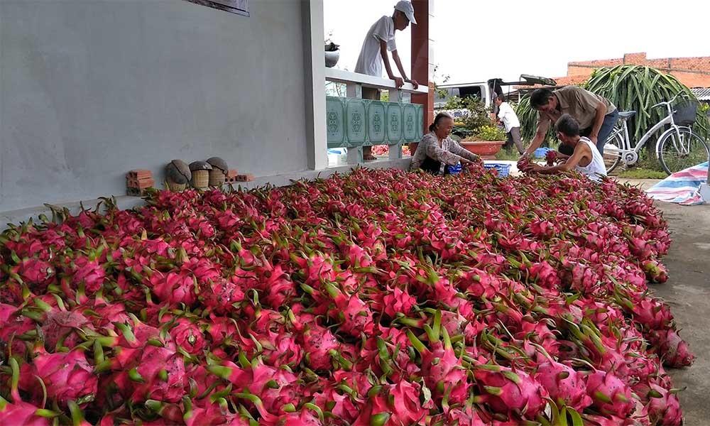 Ở vườn dân bán rẻ như cho, ra Hà Nội thành đắt gấp 25 lần