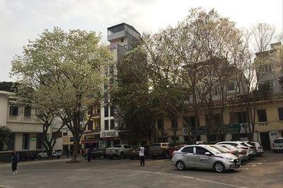 Cây sưa ngàn tỷ trên phố Hà Nội: Kho báu lộ thiên