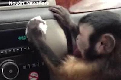 Con khỉ biết cẩn thận lau chùi ô tô cho chủ