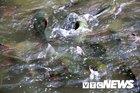 Bí ẩn về cặp 'cá ma' khủng thoắt ẩn thoắt hiện trong hang đá Thanh Hóa