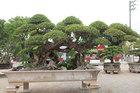 Người đàn ông Vĩnh Phúc biến cây duối tán bông lộn xộn thành cây tiền tỷ