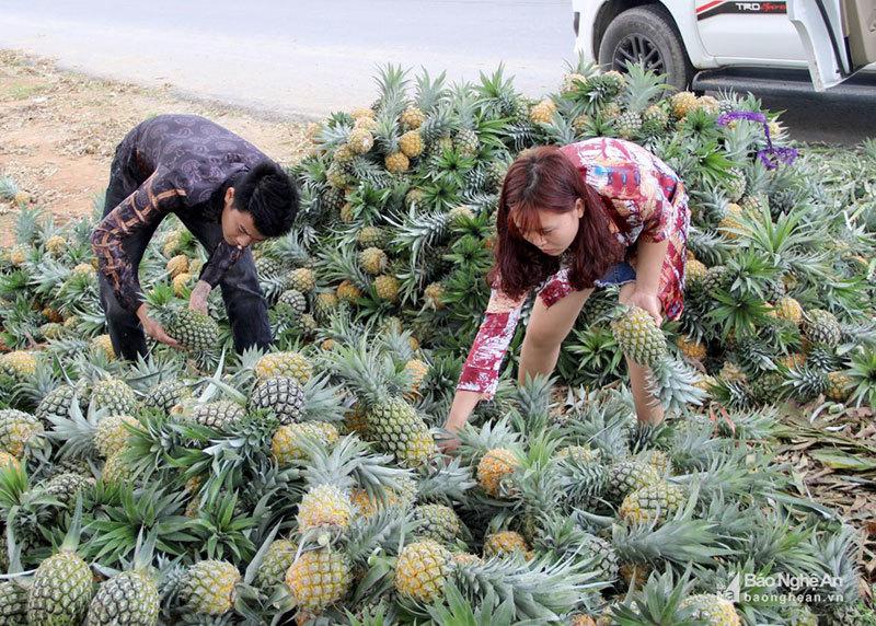 Cánh đồng mùa thơm ngọt, nông dân lại ngồi khóc ròng