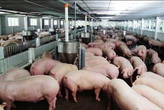 Dịch tả châu Phi: Bùng phát 21 tỉnh, tấn công trang trại 4.500 con lợn