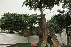 Cây hoa sữa dáng giống voi Bà Triệu, khách trả 6 tỷ không bán