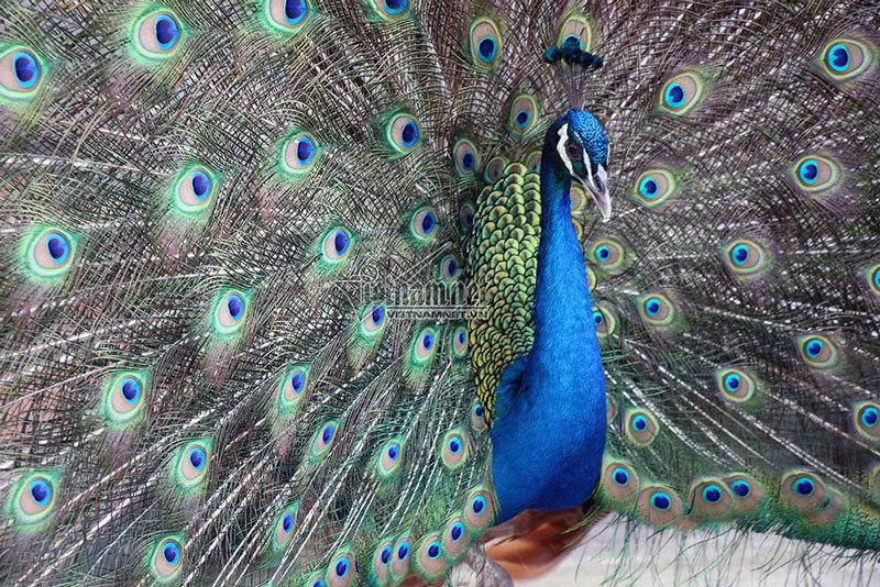 Ngắm khổng tước siêu quý xòe cánh đẹp mê mẩn