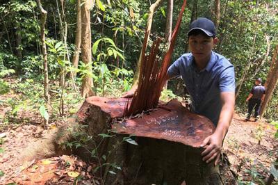 Rừng gỗ quý bị tàn sát ở miền tây Quảng Bình