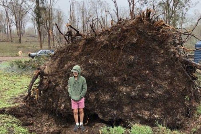 cây bật gốc tự đứng dậy,cây đổ tự dựng,Australia,chuyện hiếm