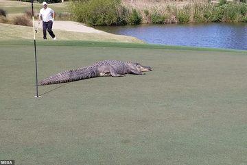 Xem cá sấu khổng lồ đại náo sân gôn