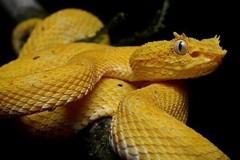 Phát hoảng rắn độc quý hiếm có sừng trong hành lý sân bay
