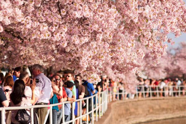 """Thời khắc hoa anh đào ở thủ đô Mỹ """"đạt đỉnh"""""""