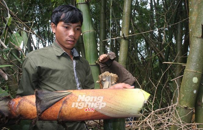 'Báu vật' của người Ca Dong trên núi Ngọc Linh: Tre siêu khổng lồ
