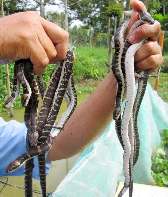 Khiếp hãi: Túi lưới ngàn con rắn, tay không bắt 1 nắm chơi đùa