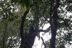 Rừng trà cổ thụ hiếm, cây to cả ôm, cao hơn 10m trên đỉnh Pu Ta Leng