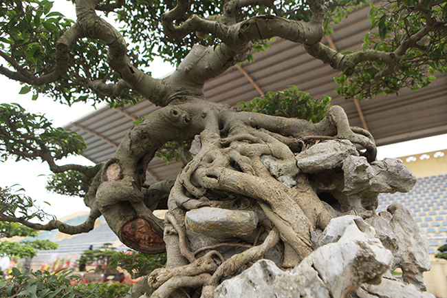 cây cảnh,cây sanh,cây cảnh tiền tỷ
