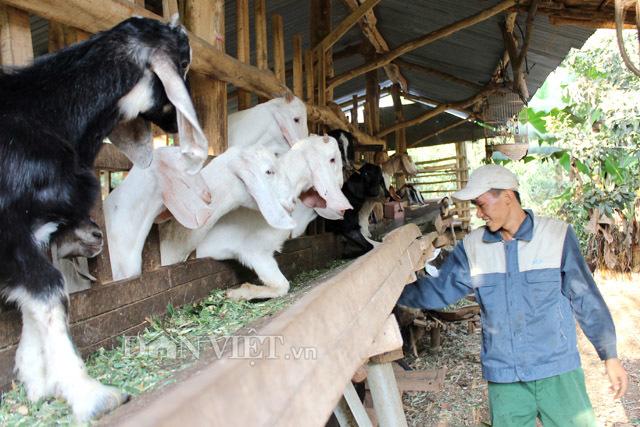Giá thịt dê hơi tăng cao, thương lái tranh nhau mua xuất Trung Quốc