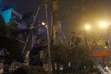 Hà Nội bất ngờ nhổ bỏ hàng trăm cây phượng trong đêm