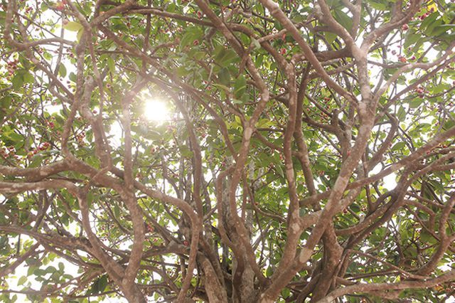 Đại gia Trung Quốc trả triệu USD mua vườn mai tứ quý 'độc nhất' Việt Nam