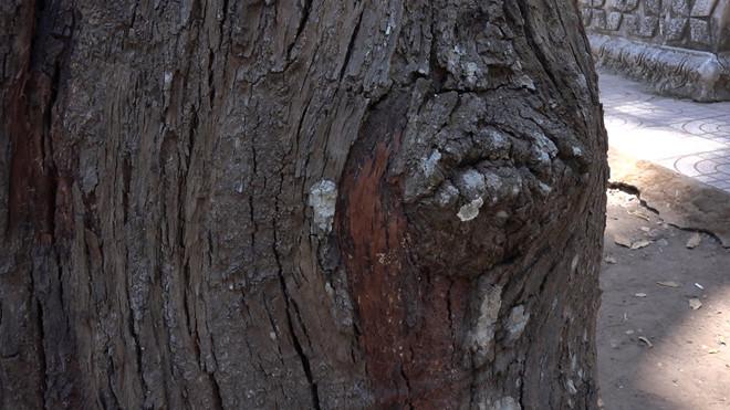 Ngắm 'cụ' sao hơn 700 tuổi 'độc nhất', nghe nhiều chuyện kỳ bí