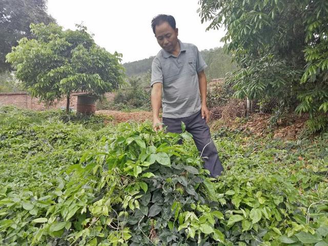 Thực hư 'sâm tiên' núi Dành quý tới mức chữa mù lòa, giá 2 triệu/kg