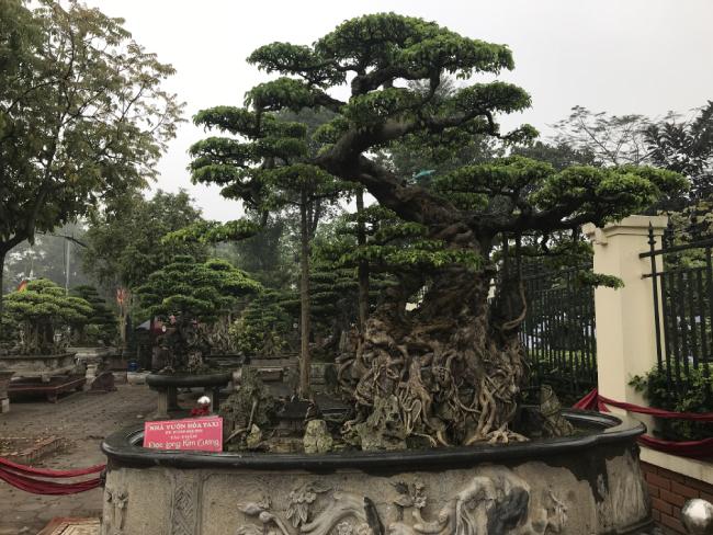 cây sanh,cây cảnh