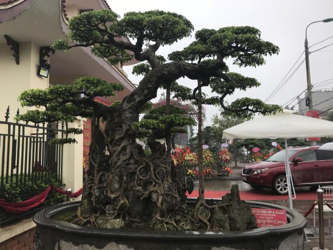 Chiêm ngưỡng cây sanh hàng trăm tuổi có giá triệu đô ở Hưng Yên
