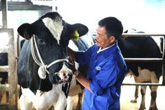600 triệu phú bò sữa trên cao nguyên Mộc Châu