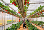 Exploring a hi-tech strawberry garden in Da Lat