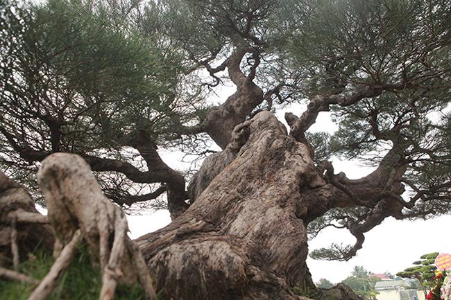 cây cảnh,cây cảnh tiền tỷ