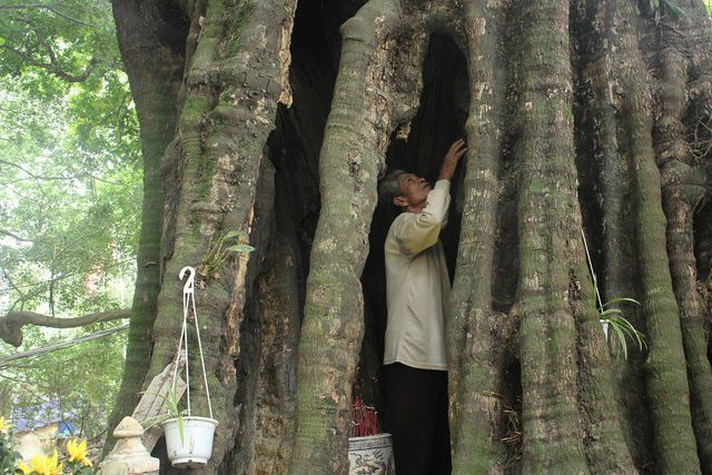 Kỳ lạ những cây cổ thụ như báu vật, cấm kỵ nói chuyện bán mua