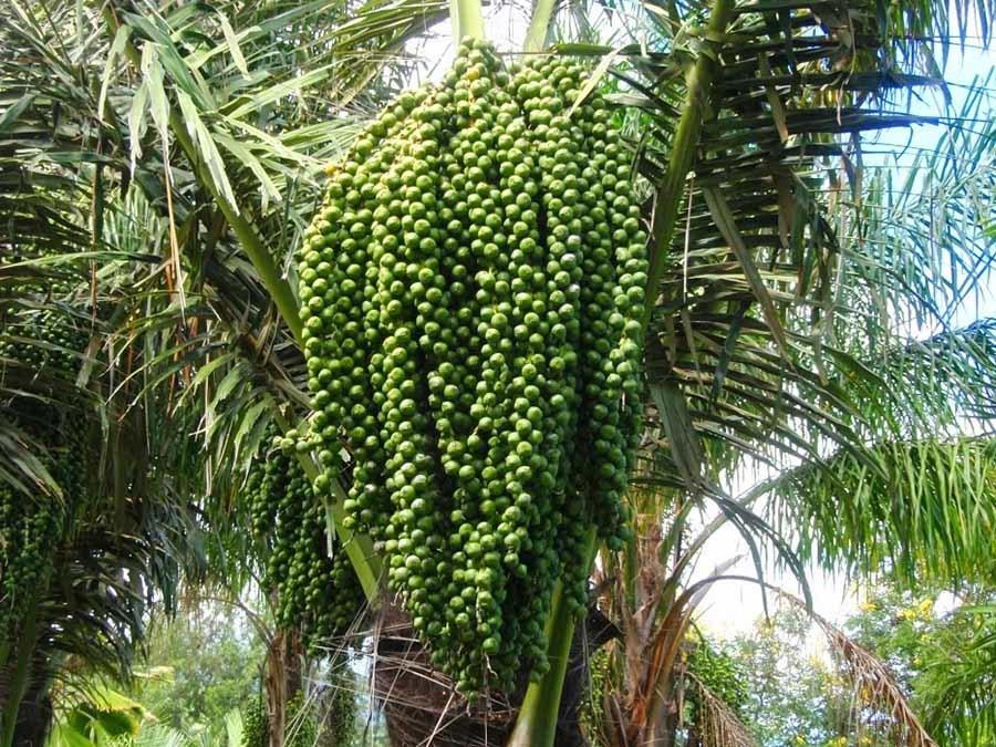 Kỳ lạ loài cây 10 năm mới cho trái, rắn hay nằm, người hay ăn