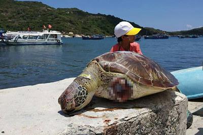 Rùa xanh quý hiếm nặng gần 20 kg bị cắt 2 vây dạt vào biển