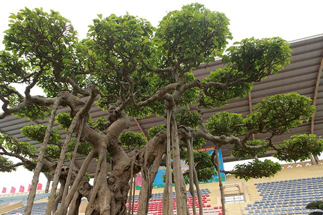 Sanh cổ 'lực sĩ' đẹp nhất đất Hà Nội xưa, giá lên tới hơn 10 tỷ