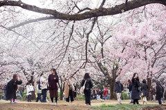 Hoa anh đào - ngành kinh doanh tỷ đô của Nhật Bản
