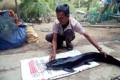 Tát ao bắt cá trê gần 12 ký, dài hơn 1m, để nuôi làm kiểng