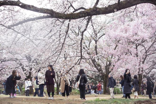 Mùa hoa anh đào – mùa kinh doanh 'màu nhiệm' ở Nhật Bản