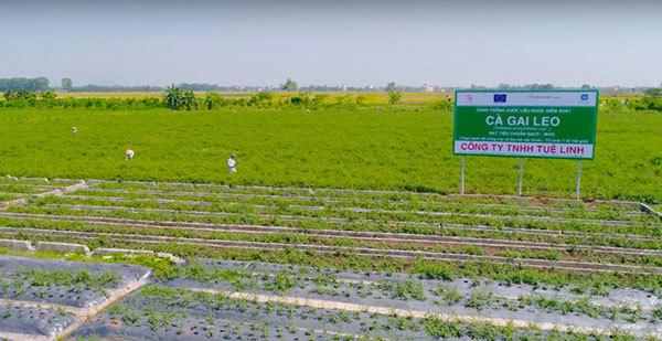 vùng nguyên liệu,cánh đồng dược liệu sạch