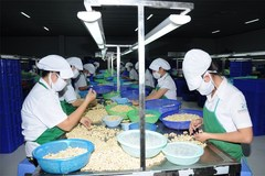 VN cashew sector opposes new pest control regulations