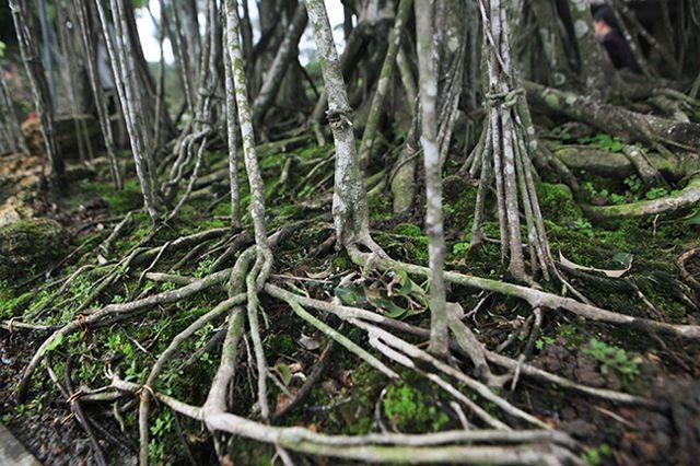 Dành 'cả thanh xuân' tạo tác cây sanh cổ, kết quả thu được khiến ai cũng mê