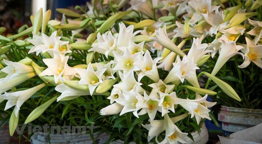April white lilies in Hanoi