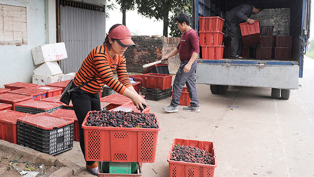 Blooming mulberry season in Hanoi