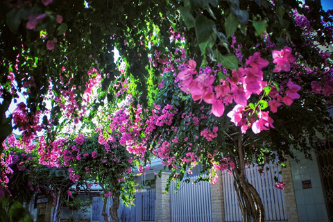 Signs of summer as great bougainvillea flowers emerge in Nha Trang