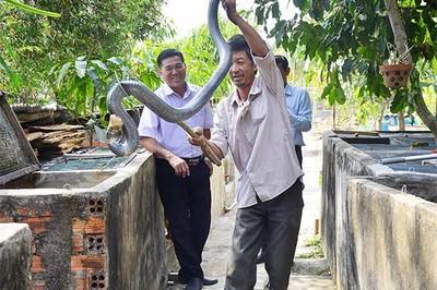 Rùng mình cảnh người đàn ông Kiên Giang bắt rắn hổ cực độc