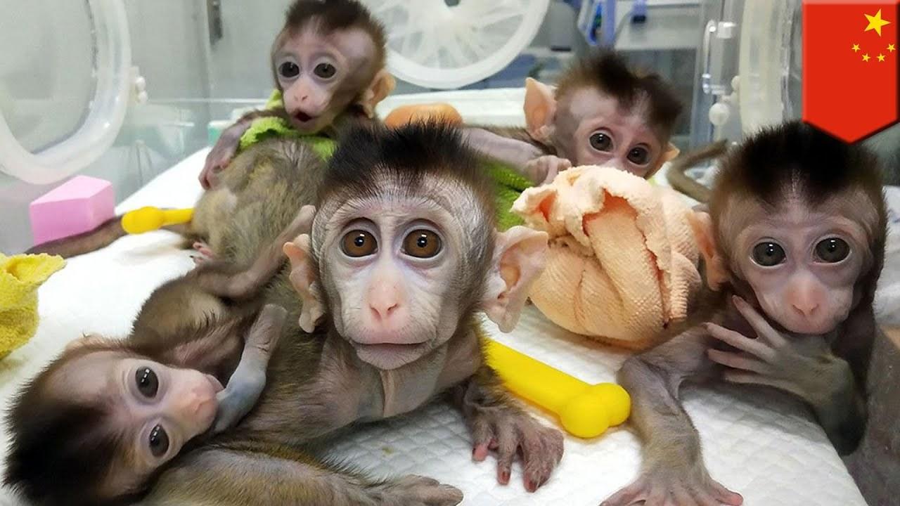 Các nhà khoa học Trung Quốc lại bị phê phán vì cấy gene người cho khỉ