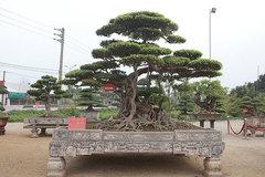 Cây sanh cổ nhất Việt Nam, đổi ngang 20 lô đất, chủ nhân không gật